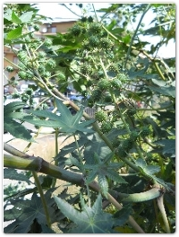 Ricino - Ricinus communis L. - Euphorbiaceae (Motta S. Anastasia, 2016)